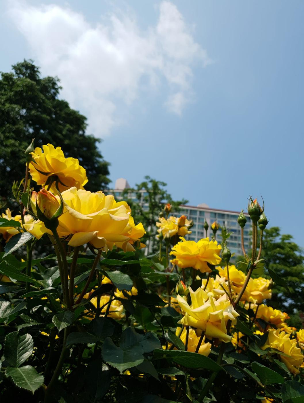 Minh Hieu Truong Vu. Yellow Roses Under Blue Sky