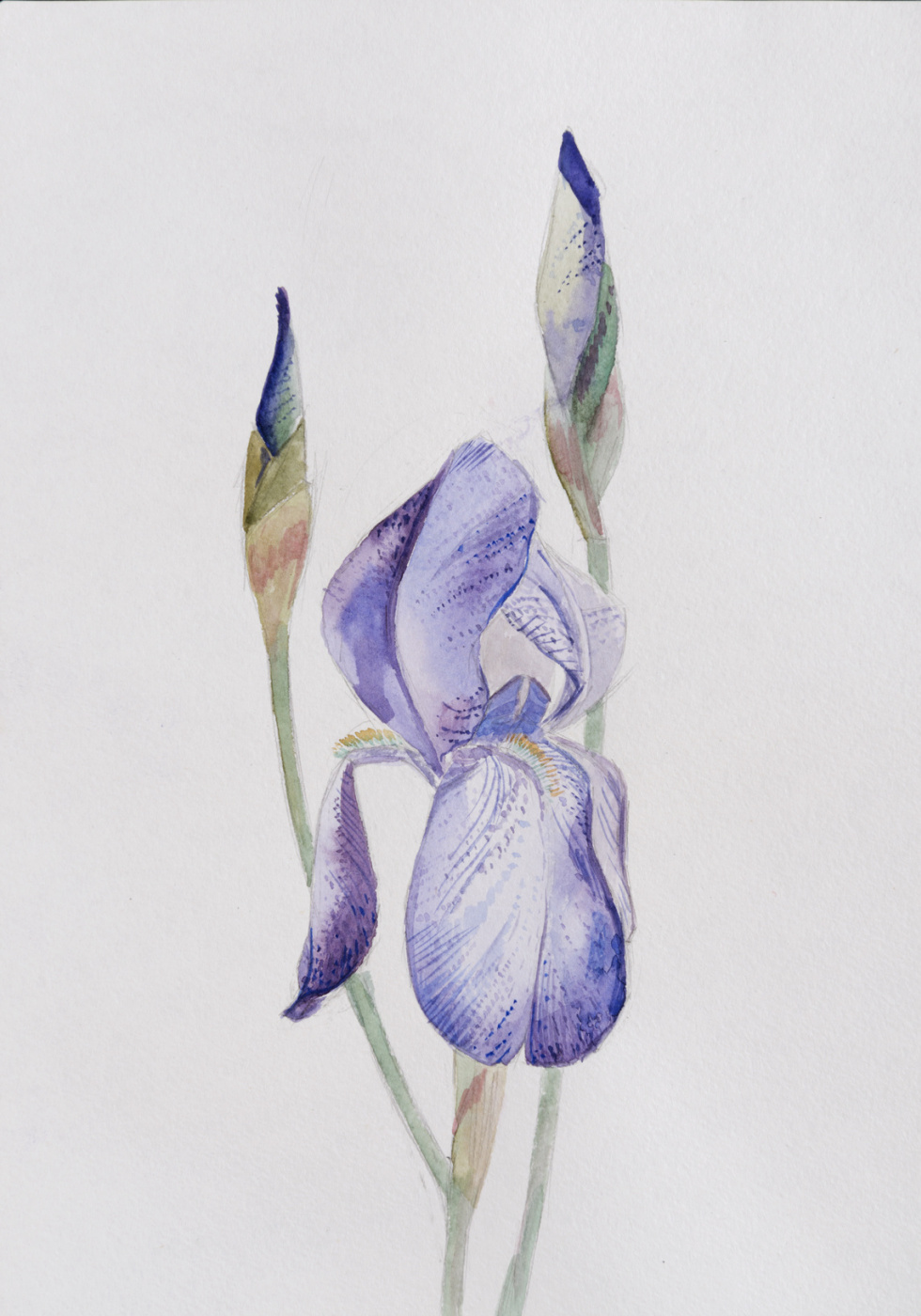 Ekaterina Sergeevna Yurashevich. Blue iris