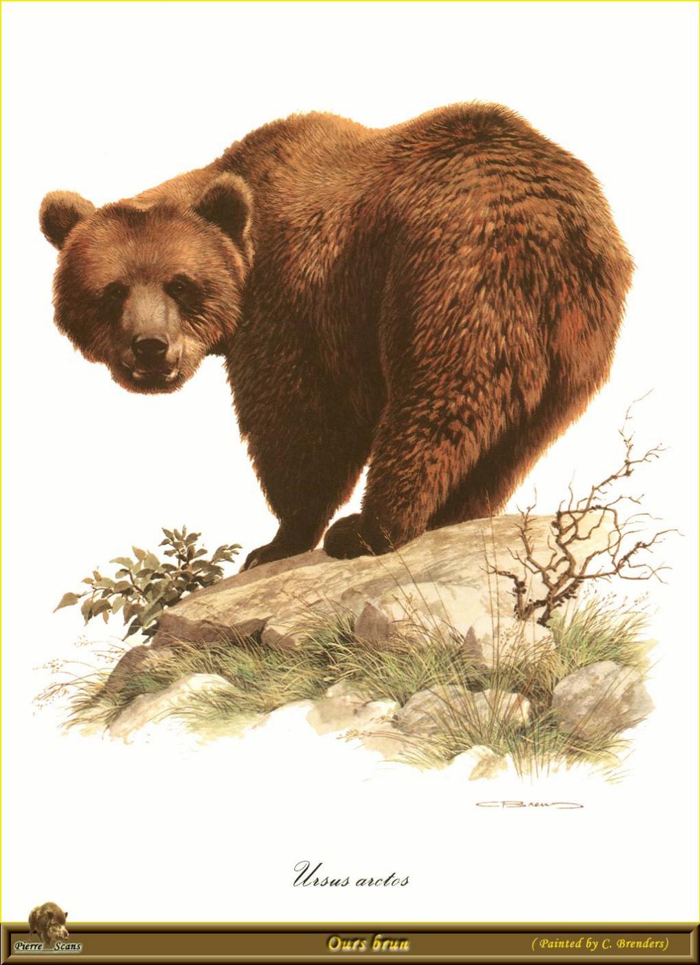 Карл Брендерс. Медведь