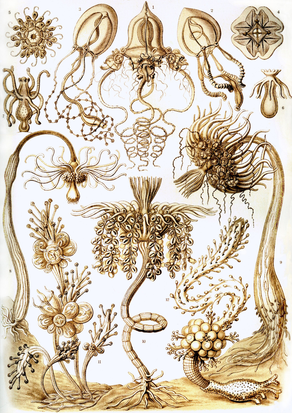 """Ernst Heinrich Haeckel. Antomedusa, tubularia. """"The beauty of form in nature"""""""