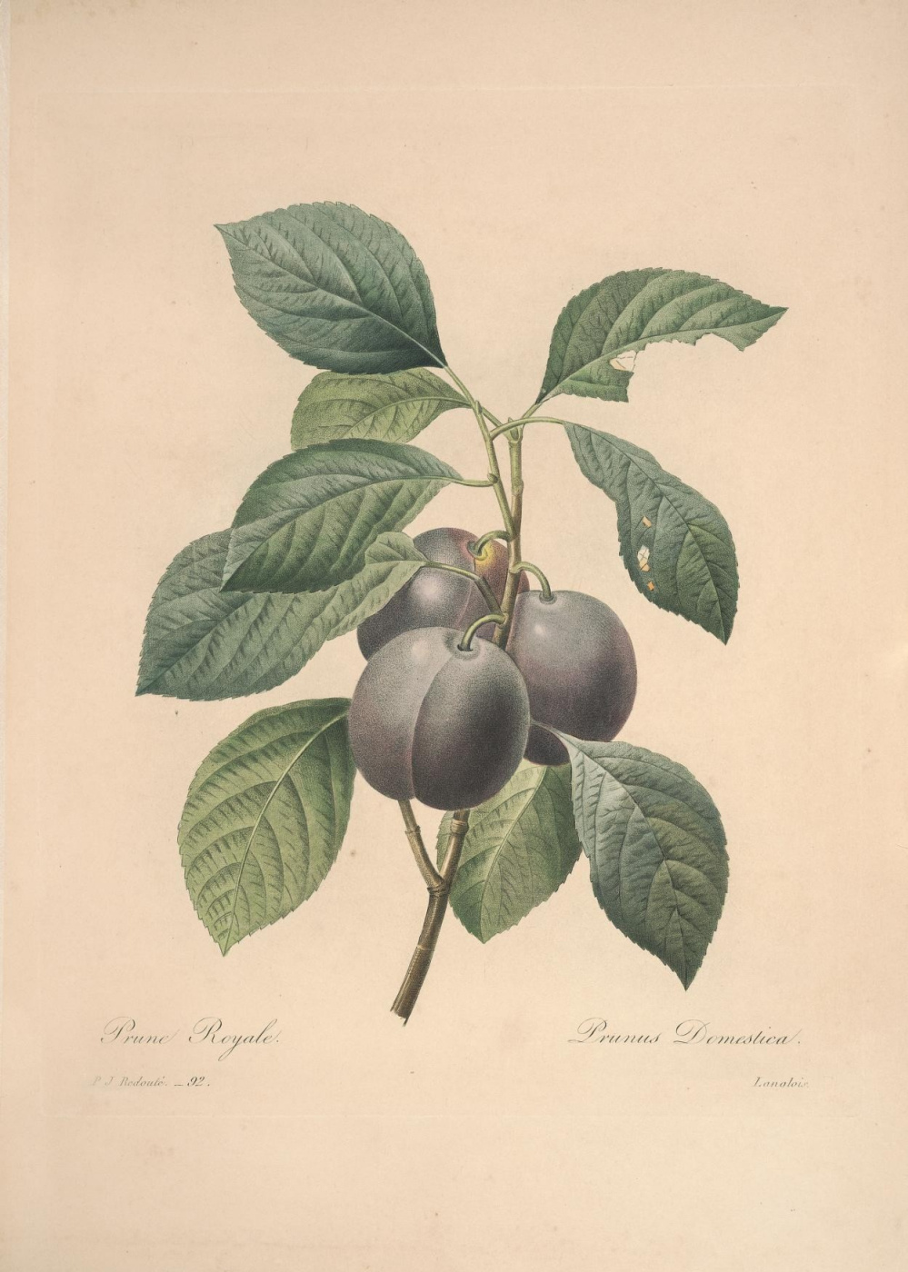 """Pierre-Joseph Redoute. Plum. """"Selection of the most beautiful flowers and fruits"""""""