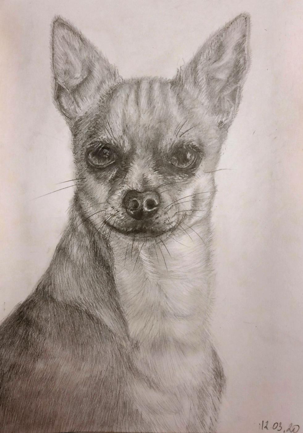 Julia Sergeevna Bochkareva. Chihuahua