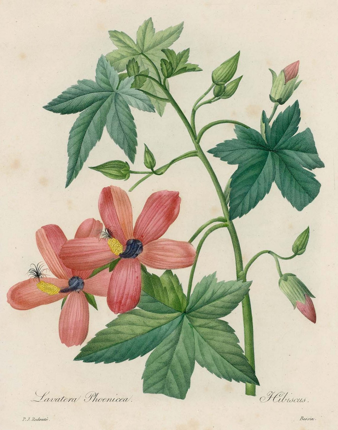 "Pierre-Joseph Redoute. Hibiscus from Redueta. ""Selection of the most beautiful flowers"""