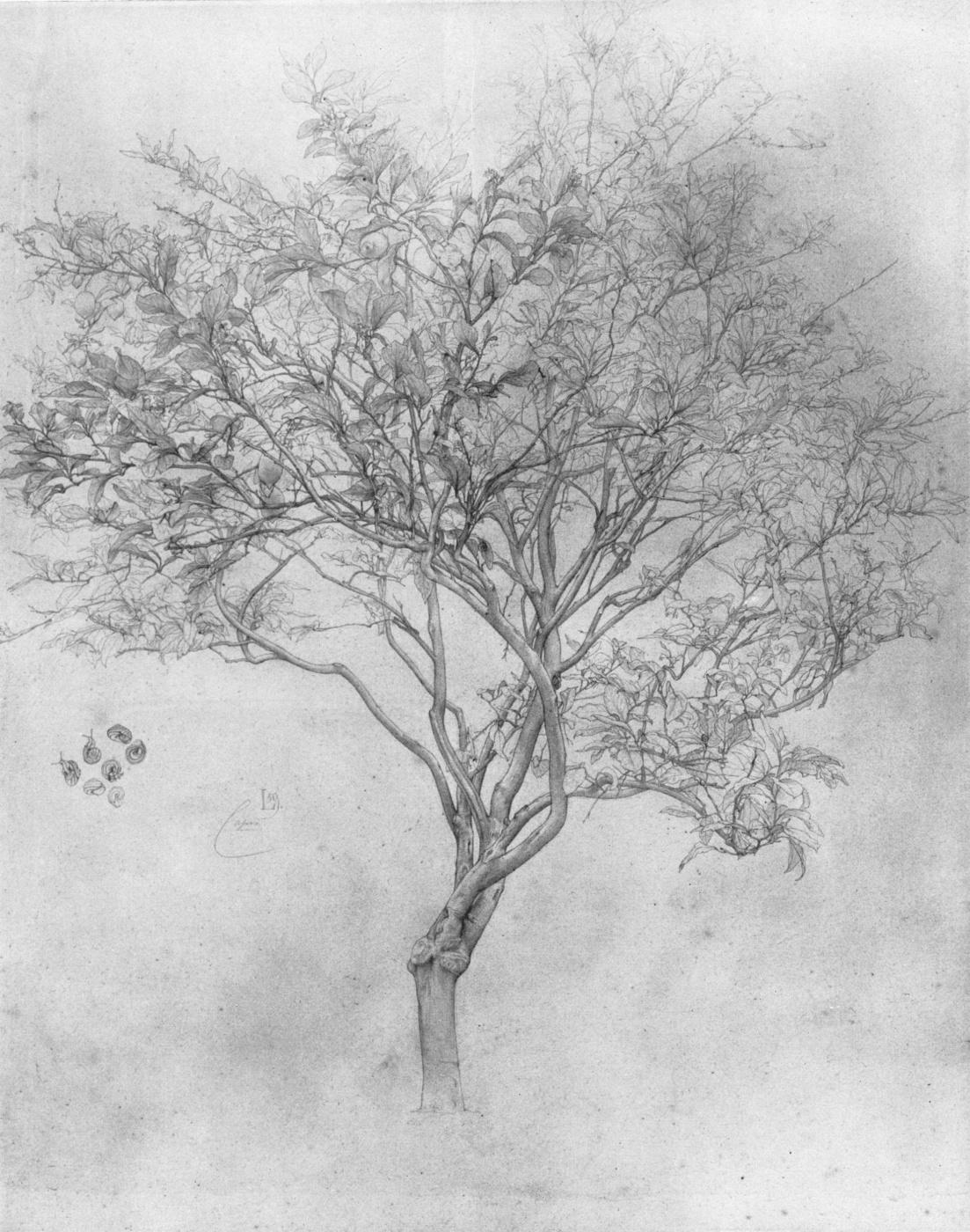 Frederic Leighton. Lemon Tree Sketch