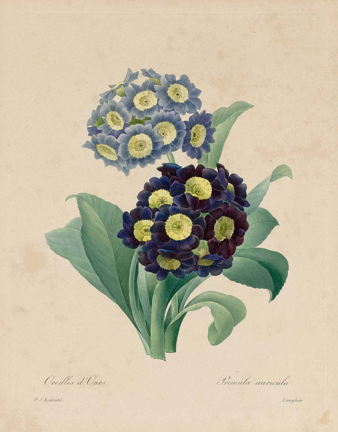 """Pierre-Joseph Redoute. Primula bear. """"Selection of the most beautiful flowers"""""""