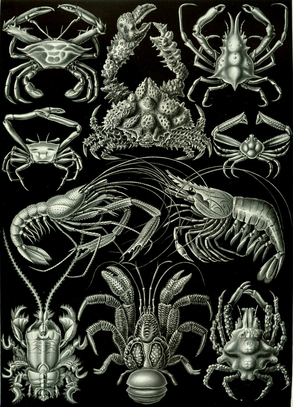 """Ernst Heinrich Haeckel. Decapod crustaceans (Decapods). """"The beauty of form in nature"""""""