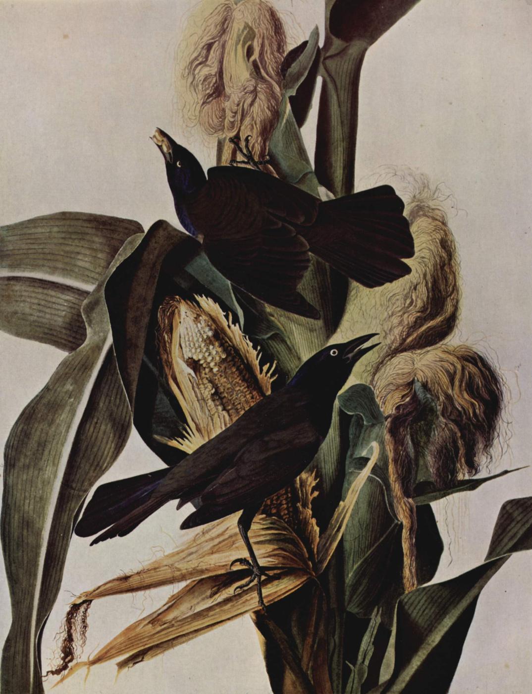 John James Audubon. Corn and crows