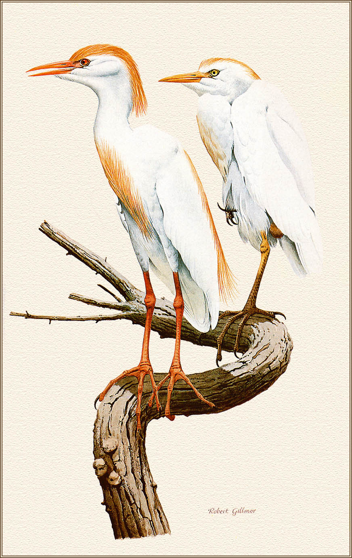 Robert Gilmore. Cattle egret