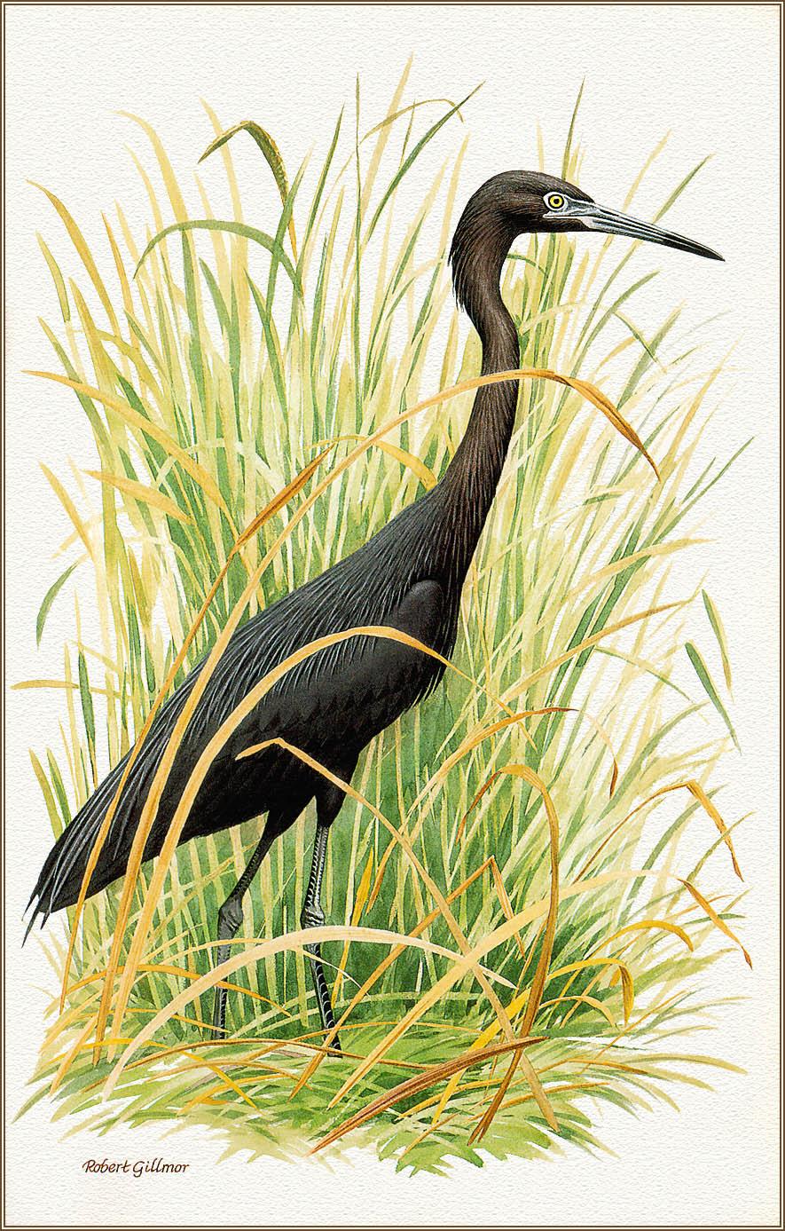 Robert Gilmore. Small blue Heron