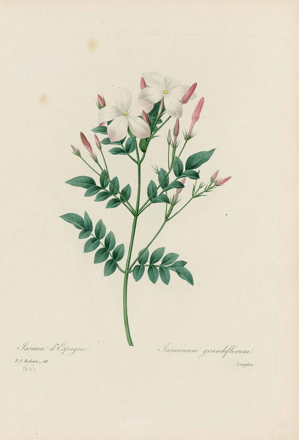 "Pierre-Joseph Redoute. Spanish jasmine. ""Selection of the most beautiful flowers"""