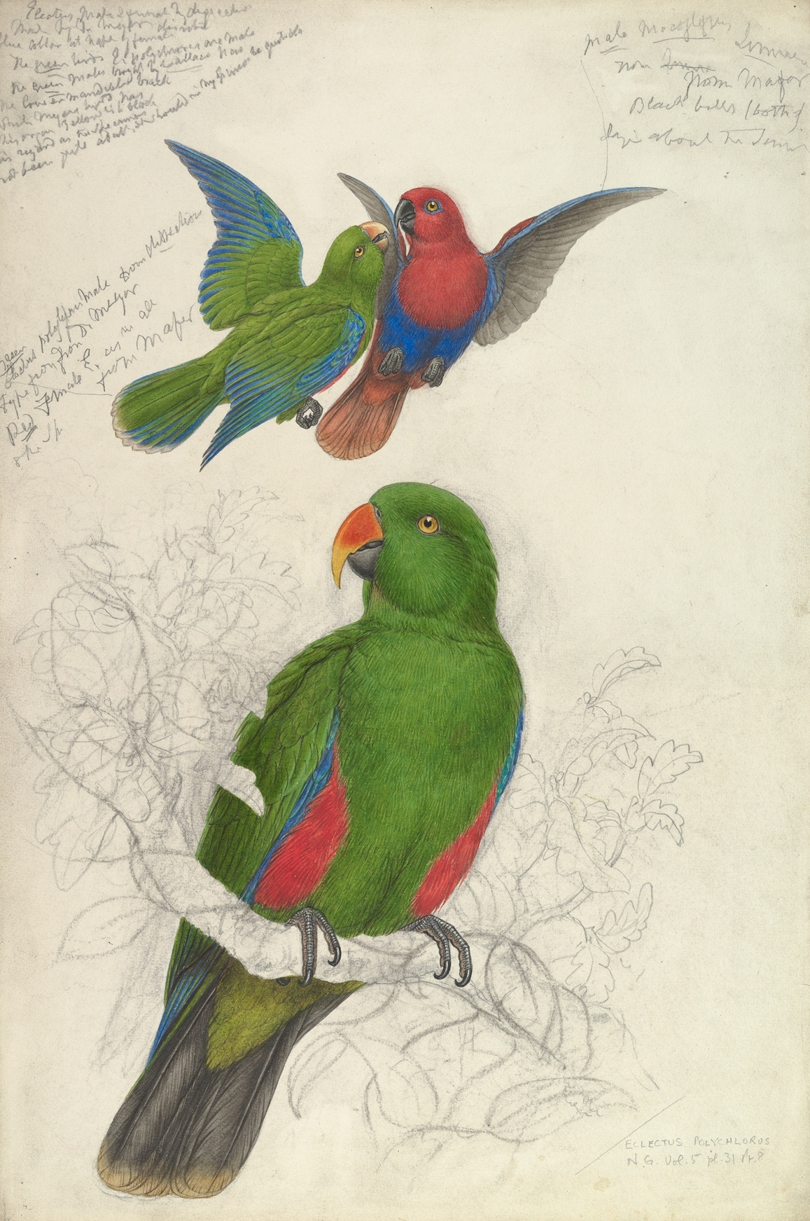 Эдвард Лир. Noble Green-Red Parrot, Australia