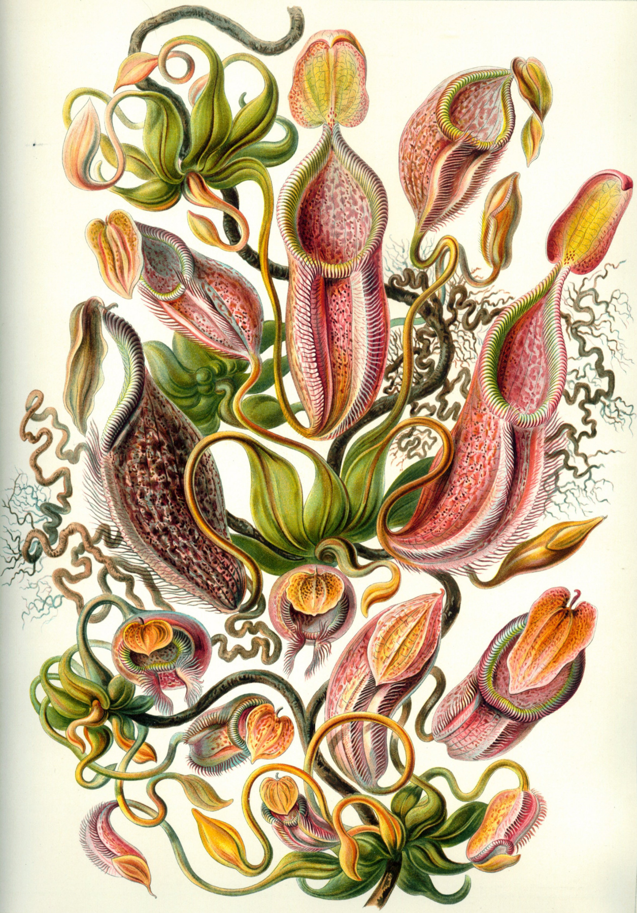 "Ernst Heinrich Haeckel. Nepentes (jugs). ""The beauty of form in nature"""