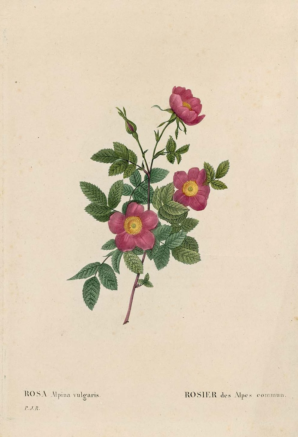 "Pierre-Joseph Redoute. Alpina ordinary. ""Roses"""