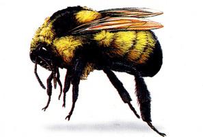 Джек Грабер. Пчела