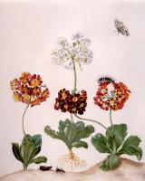 Мария Сибилла Мериан. Цветы