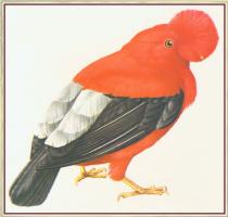 Питер Барретт. Перуанский петух