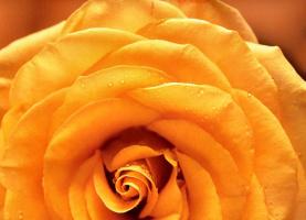 Мария Робледо. Желтая роза