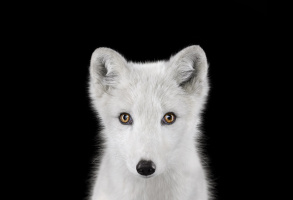 Brad Wilson. ArcticFox#1