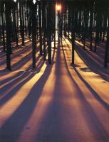 Дэвид Мюнх. Солнечный свет сквозь деревья
