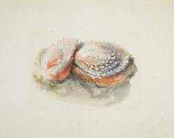 John Ruskin. Coral Oysters