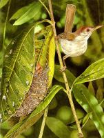 Тони Оливер. Птицы строят гнезда 08
