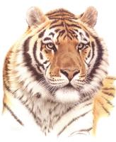 Гай Кохелич. Голова сибирского тигра