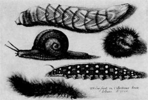 Венцель Холлар. Улитка и гусеницы