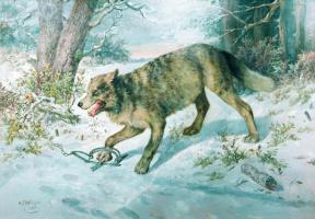 Попался волк. 1896