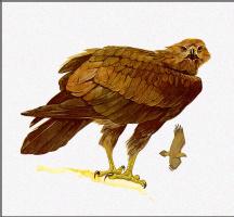 Тони Оливер. Клинохвостый орёл