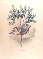 "Jean Inias Isidore (Gerard) Granville. Myrtle. The series ""Animate Flowers"""