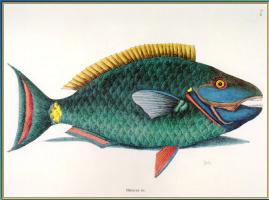 Марк Катсби. Рыба