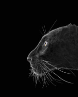 Brad Wilson. Black Leopard#2