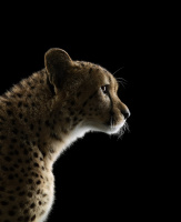 Brad Wilson. Cheetah#2