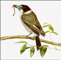 Тони Оливер. Сероспинная флейтовая птица