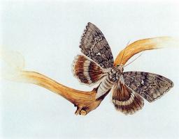 Катокала Вильдт. Бабочка