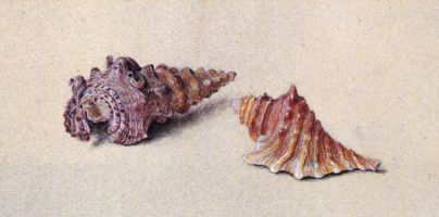 John Ruskin. Two seashells