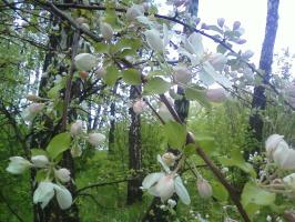 Евгения Балашова. Дикая яблоня