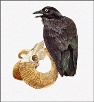 Тони Оливер. Австралийская ворона