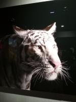 Brad Wilson. White Tiger #1