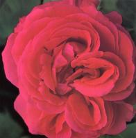 Клей Перри. Красная роза