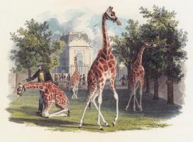 Эдуард Гурк. Первый жираф в зоопарк Шенбрунн