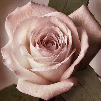 Тим Рихтер. Роза