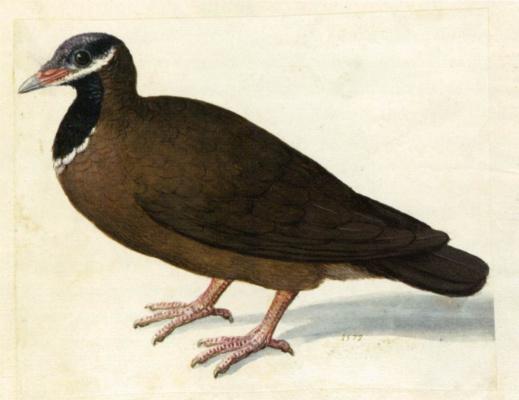 Giuseppe Arcimboldo. A blue-crested quail