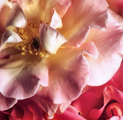 Клей Перри. Розовый цветок
