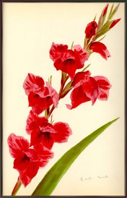 Arlette Davids. Red gladiolus