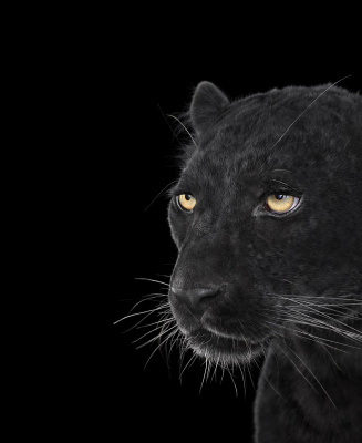 Brad Wilson. Black Leopard#4