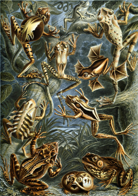 """Ernst Heinrich Haeckel. Tailless """"The beauty of form in nature"""""""