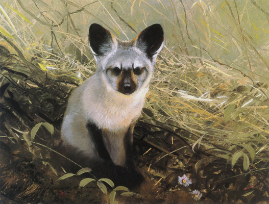Michael Coleman. Eared Fox
