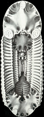 "Ernst Heinrich Haeckel. Cavernous planulus. ""The beauty of form in nature"""