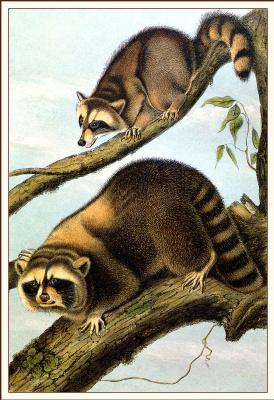 John James Audubon. Raccoon
